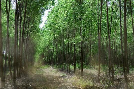 genetically-engineered-trees