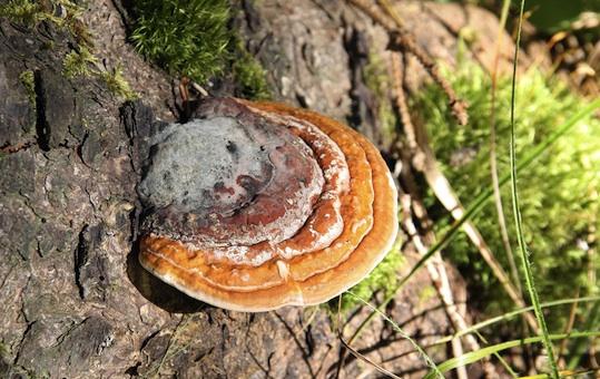 reishi-mushrooms
