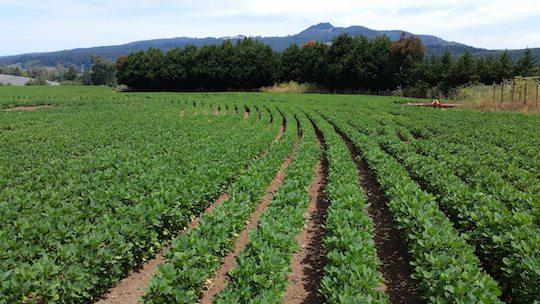Organic quinoa field