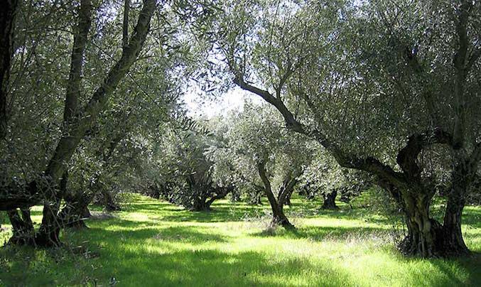 (Organic olive trees at Berkeley Olive Grove, photo courtesy of Berkeley Olive Grove.)